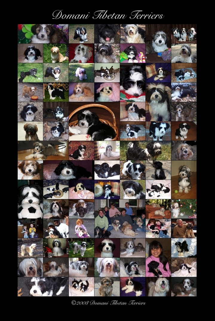 "10"" x 15"" collage of 82 pictures of Domani Tibetan Terriers"