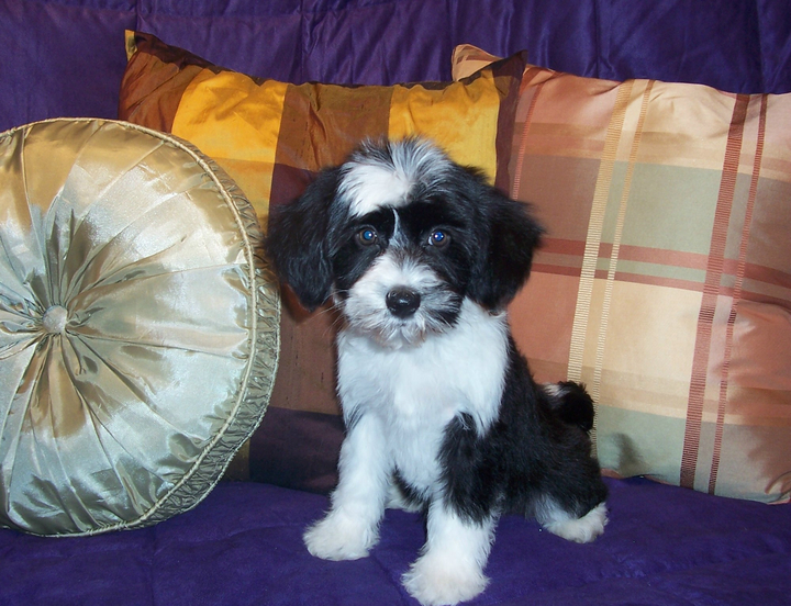 Small black-and-white Tibetan Terrier puppy sitting on a purple blanket in front of three decorative pillows pillow