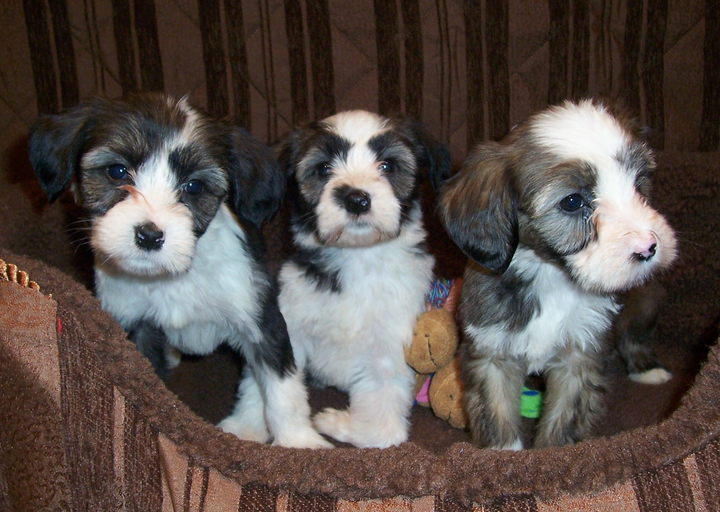 Three young sable-and-white Tibetan Terrier puppies sitting and looking out of a soft brown basket