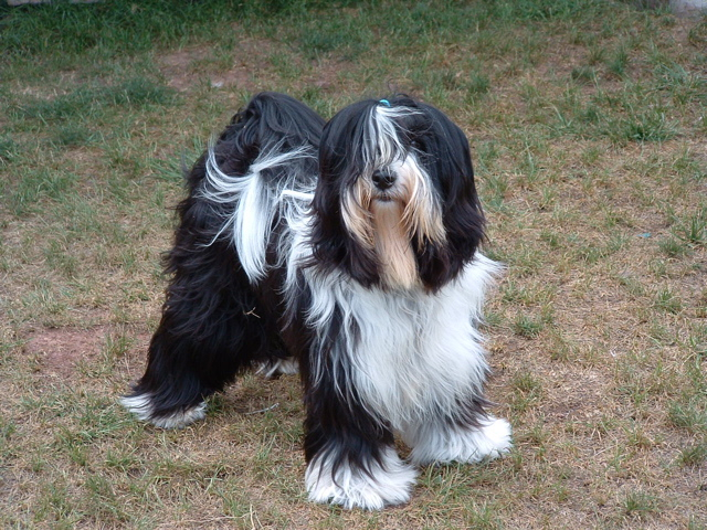 Black-and-white Tibetan Terrier standing on browned-out grass