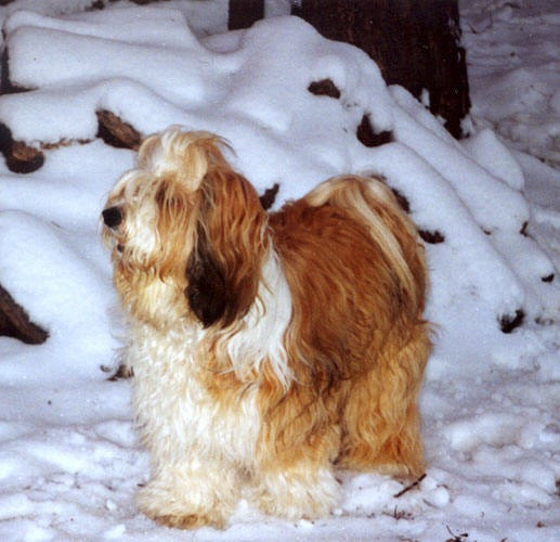 Gold-and-white Tibetan Terrier standing in front of snow-covered logs