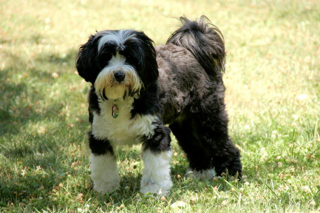Black-and-white Tibetan Terrier standing on grass