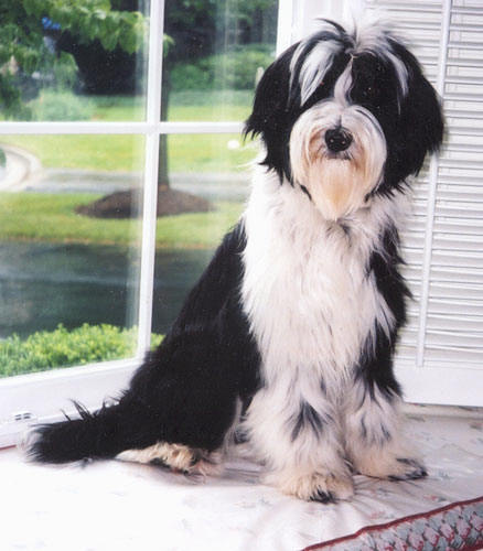 Black-and-white Tibetan Terrier sitting in front of a window