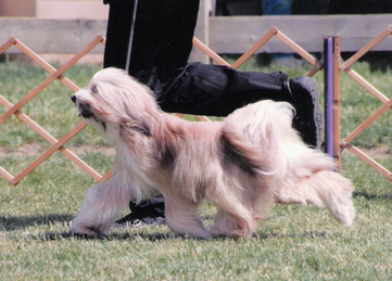 Tan-and-white Tibetan Terrier trotting on grass