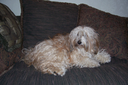 Gold sable Tibetan Terrier lying on a brown sofa in front of brown pillows