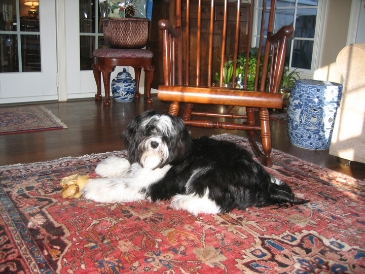 Black-and-white Tibetan Terrier lying on oriental rug in front of wooden rocking chair