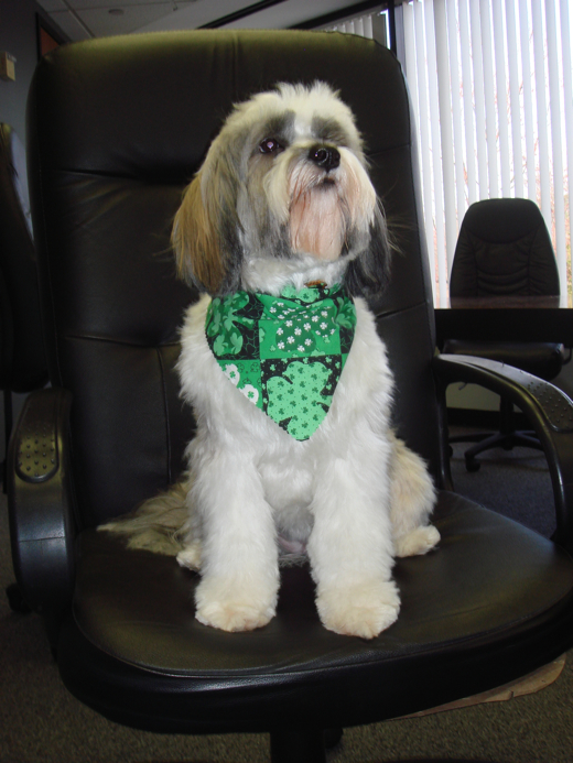 Mostly white Tibetan Terrier wearing green scarf and sitting on office chair