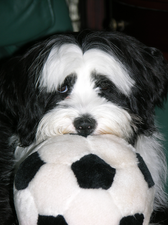 Close-up of the face of a black-and-white Tibetan Terrier resting on a soft soccer ball