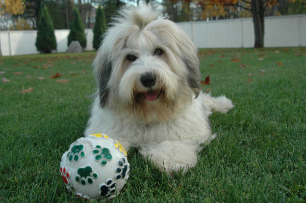 Mostly white Tibetan Terrier lying on grass behind a ball