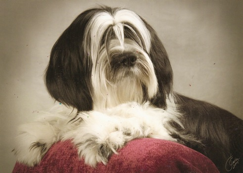 Long-haired dark gray-and-white Tibetan Terrier lying on a red pillow