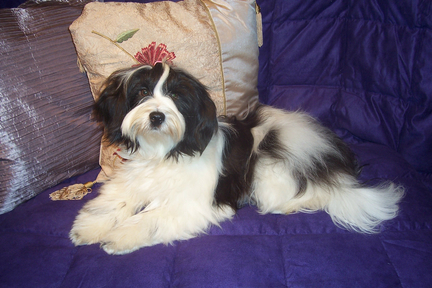 White-and-black Tibetan Terrier lying on a purple quilt in front of a decorative pillow