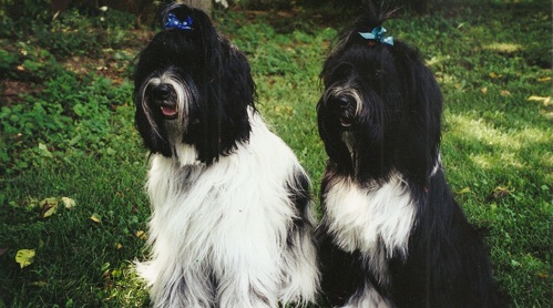 Two Tibetan Terriers sitting, one mostly white with some black, and one mostly black with some white, and both with blue ribbons in their hair
