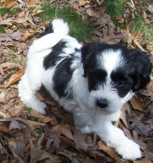 White-and-black Tibetan Terrier puppy standing on leaves