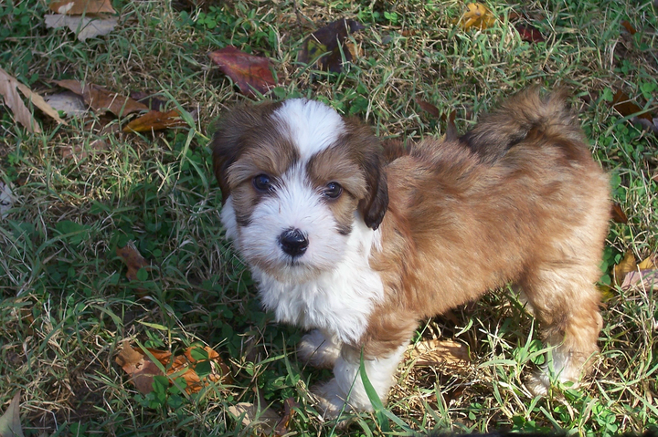 Sable-and-white Tibetan Terrier puppy standing ion grass