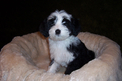 Black-and-white Tibetan Terrier puppy on white pad