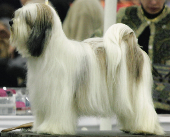 White-and-champagne long-haired Tibetan Terrier standing for show