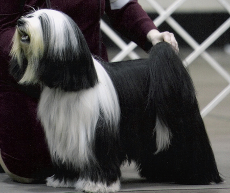Black-and-white long-haired Tibetan Terrier standing for show