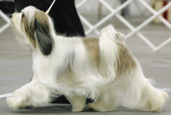 White-and-champagne long-haired Tibetan Terrier walking for show